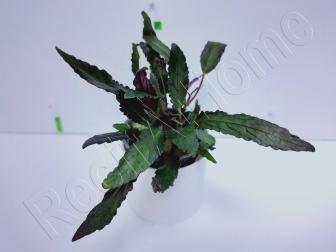 Hemigraphis exotica plante eau douce