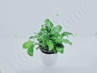 Schismatoglottis prietoi plante eau douce