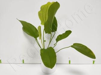 Echinodorus yellow sun  plante eau douce