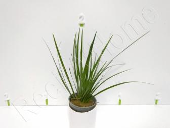 Acorus pusillus  plante eau douce