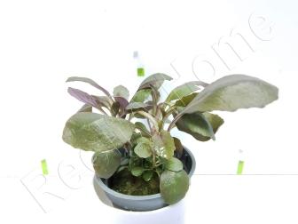Lobelia cardinalis plante eau douce