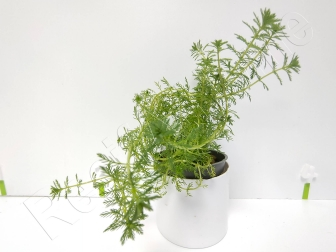 Myriophylum guyana plante eau douce