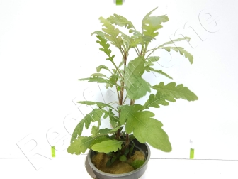 Hygrophyla pinnatifida plante eau douce