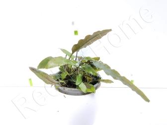 Cryptocoryne usteriana plante eau douce