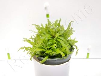 Pogostemon helferi plante eau douce
