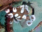 Plectorhinchus chaetodontides