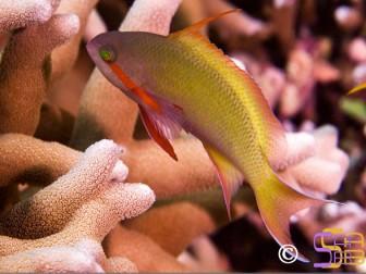 Pseudanthias hutchi mâle