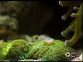 Rhodactis indosinensis vert fluo