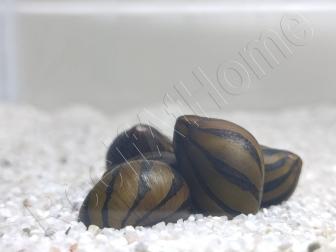 Nérite zébrée - Neritina natalensis
