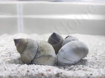 Filopaludina martensi - Escargot Piano