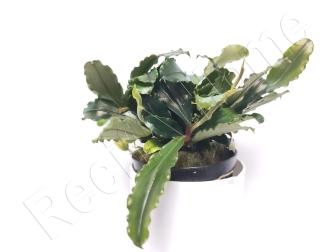 Bucephalandra velvet Green