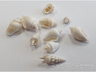 10 mini Coquilles Nassa Blanche pour Bernard l'hermite