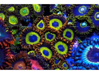 Fruity loops Zoanthus 200pp Panneaux photo Largeur (cm) 76  Hauteur (cm) 50.6 Aluminium blanc 3 mm