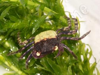 Geosesarma sp. purple femelle