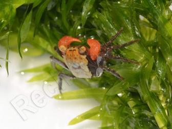 Geosesarma sp. tricolor mâle