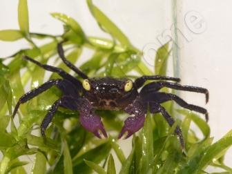 Geosesarma sp. trio de mâle