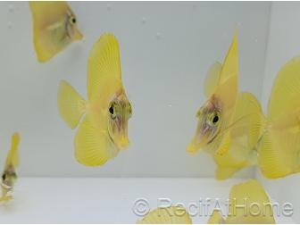 Zebrasoma flavescens Elevage Biota 3-4cm +1 sachet de granulés offert