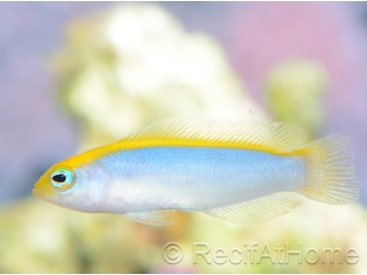 Pseudochromis flavivertex  Ultra Elevage France MERS
