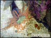Cerianthus filiformis orange