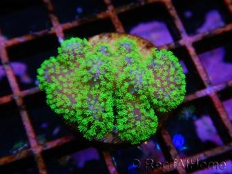 Stylophora polypes vert fluo
