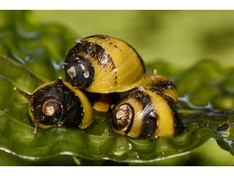 Chliton sp. horned snail