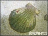 Clamys pallium