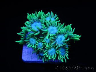 Goniopora Blue mouth S
