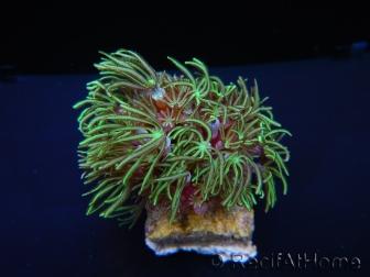 Tubipora Vert ultra