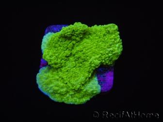 Montipora plateau vert taille S