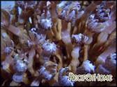 Clavularia cylindrica