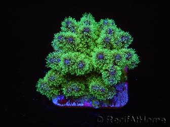 Pocillopora tri-color ultra S