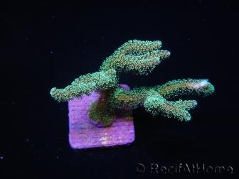 Seriatopora caliendrum vert