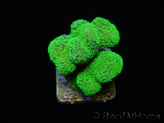 Stylophora Rose polypes vert fluo taille s