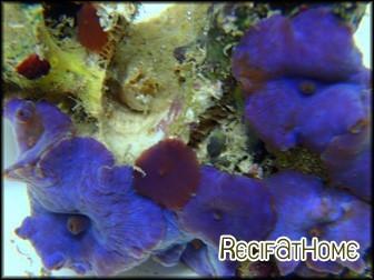 Discosoma violet coeruleus