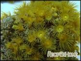 Parazoanthus gracillis