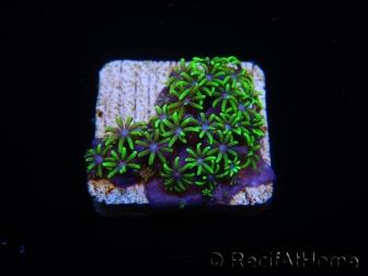 WYSIWYG Pachyclavularia  fluo 4 XS (1.5cm)