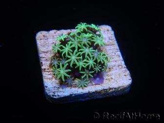 WYSIWYG Pachyclavularia  fluo 6 XS (1.5cm)