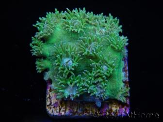 RAH Duncanopsamia peltata Ultra Green Taille S