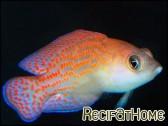 Pholidochromis cerasina