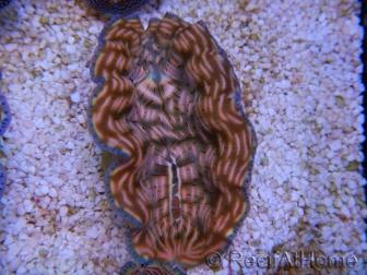 WYSIWYG Bénitier Tridacna derasa ULTRA C6 (5-6 cm)