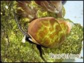Nassarius distortus