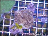 Montipora undata violet S