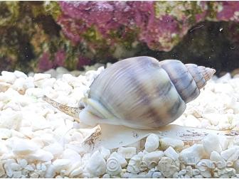 Nassarius coronatus