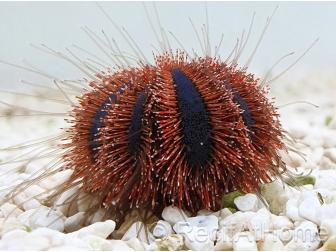 Mespilia globulus rouge