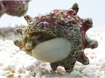 Escargot Astrea