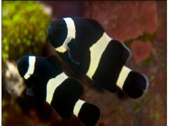 Amphiprion ocellaris full black
