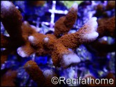 Montipora digitata rouge S