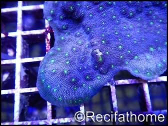 Echinopora lamellosa bi-color M
