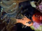 Apogon maculatus CARAIBES