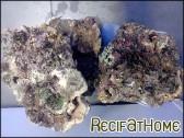 Indonésie Plateau pierres vivantes naturelle CITES au kg